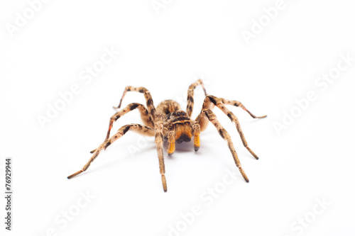 spider isolated - 76929944