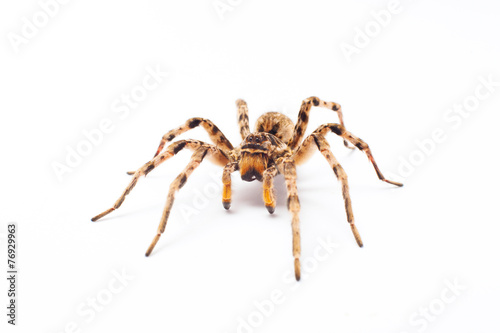 Foto op Plexiglas Wolf spider isolated