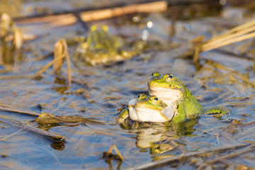 Two green frogs in the lake.
