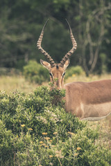 Impala standing behind bush. Game reserve. Mpongo. South Africa.
