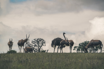 Horizon with antelopes and one ostrich. Cloudy sky. South Africa