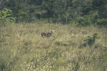 Young antelope with horns standing in field of grass. Mpongo gam
