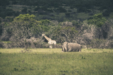 Rhino lying in field of grass. Mpongo game reserve. South Africa