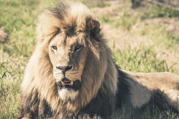 Male lion with big mane lying in grass. Mpongo game reserve. Sou
