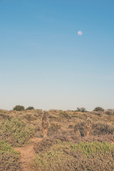 Three meerkats at sunrise standing towards the sun. Warming up.