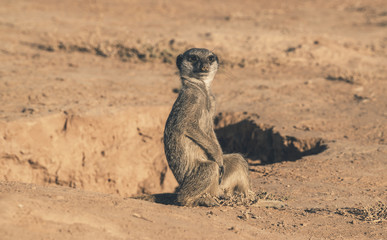 Young meerkat sitting on the ground near hole. Warming up in the