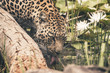 Headshot of leopard drinking from pool. Tenikwa wildlife sanctua