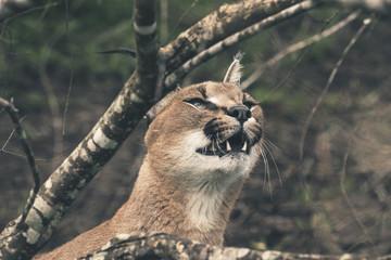 Headshot of caracal cat looking at food. Tenikwa wildlife sanctu