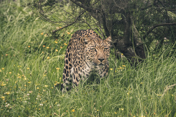 Leopard walking through high grass. Tenikwa wildlife sanctuary.