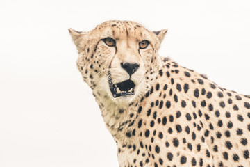 Headshot of cheetah against white background. Tenikwa wildlife s