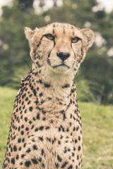 Headshot of cheetah against blurred green background. Tenikwa wi