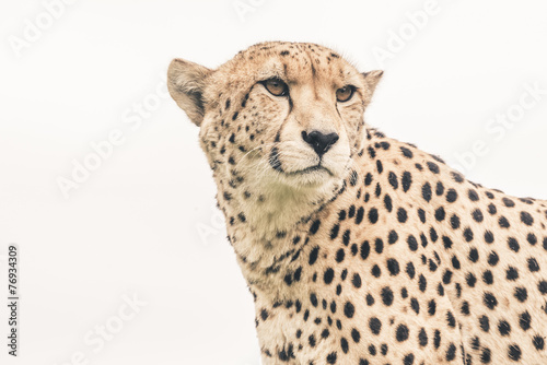 Fotobehang Zuid Afrika Headshot of cheetah against white background. Tenikwa wildlife s