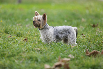 Small Yorkshire Terrier dog on green grass