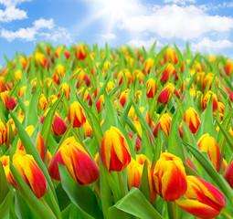 Tulpenfeld mit Sonne und Himmel