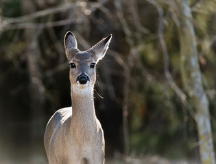 Closeup of White-Tailed Deer in the woods