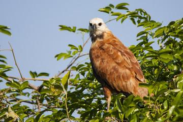 Black Collared Hawk on Treetop, Closeup