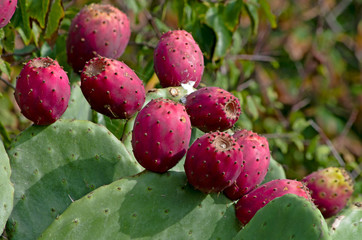 Ripe fruits of prickly pear