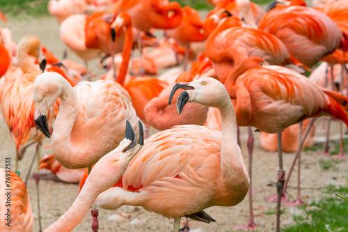 Foto op Aluminium Flamingo Flamingos birds