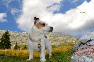 Jack russel in montagna
