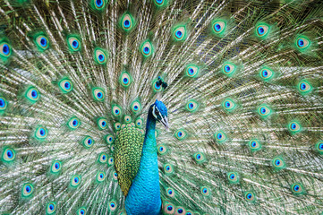 peacock showing its beautiful feathers