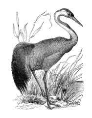 19th century engraving of a crane