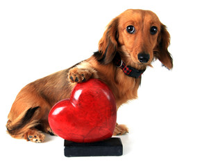 Valentines heart and dachshund puppy