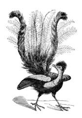19th century engraving of a lyrebird