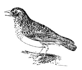 19th century engraving of a thrush
