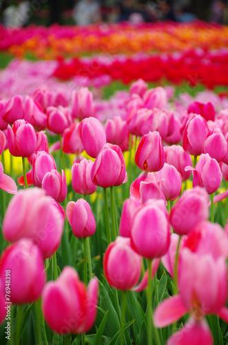 Poster Roze 雨上がりのチューリップ畑