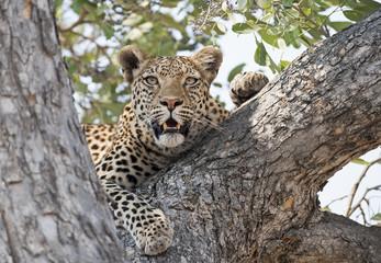 Africa  Botswana leopard in a tree.