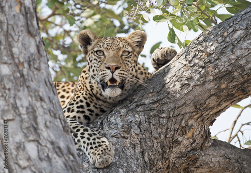 Africa Botswana leopard in a tree.