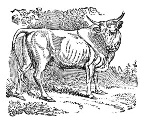 Victorian engraving of a bull.