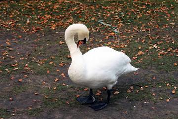 swan лебель