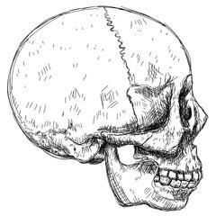 Skull sketch - side view