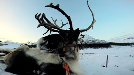 Close up view Reindeer antlers resting winter snow pulling tourist sledge Norway