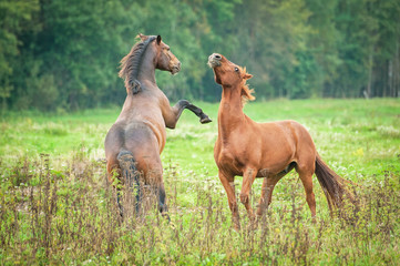 Two young horses playing on the pasture in summer