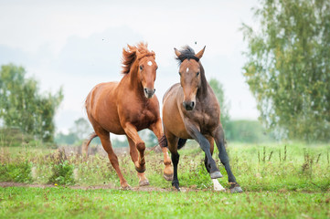 Two horses running on the pasture in summer