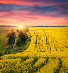 Colorful summer sunrise on the field of blossom canola
