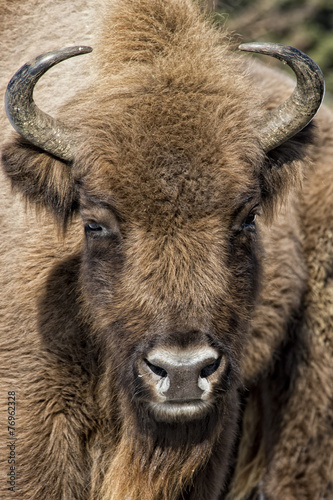 Deurstickers Bison european bison close up on snow