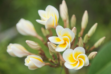 plumeria blossoms, beautiful flowers on a tree