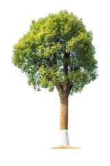 green camphor tree