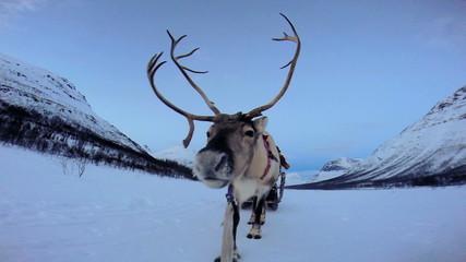 POV Handler sunset Norwegian Reindeer pulling sledge snow covered landscape