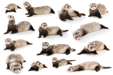 Set ferret  isolated