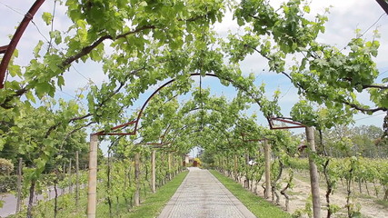 Grape vines twining over arch. Italy