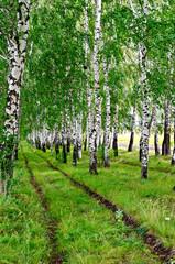 Birchwood with road