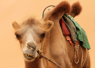 Bactrian camel on a background of sand