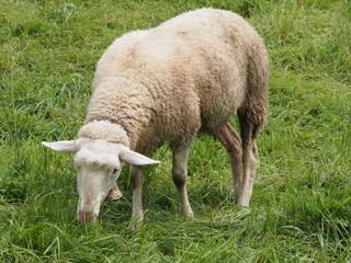 Mouton en Suisse