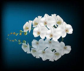 white orchid with reflection on dark blue background