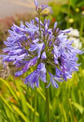 Agapanthe, Lis du Nil, Tubéreuse bleue, Agapanthus