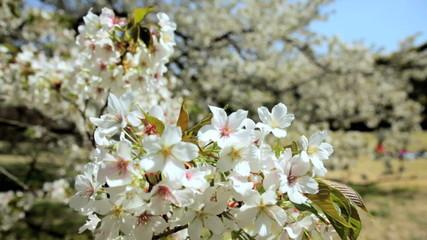 Cherry Blossom Sakura Trees Japanese Shinjuku Gyoen Park Tokyo Japan